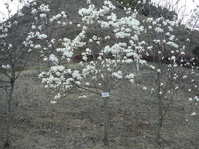 白く大きな花を咲かせる〜モクレン〜