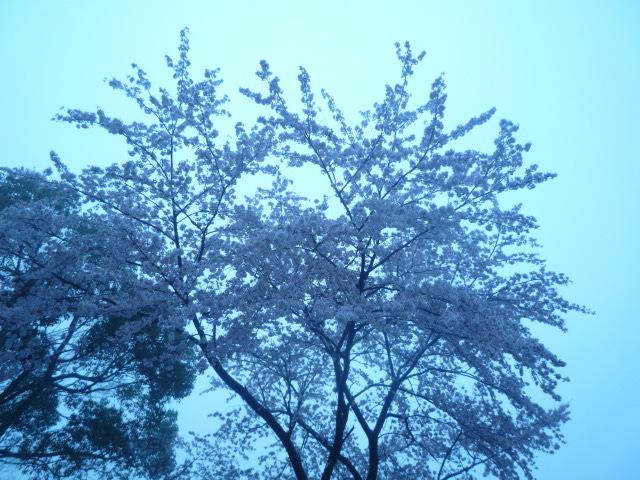 せっかくの桜が