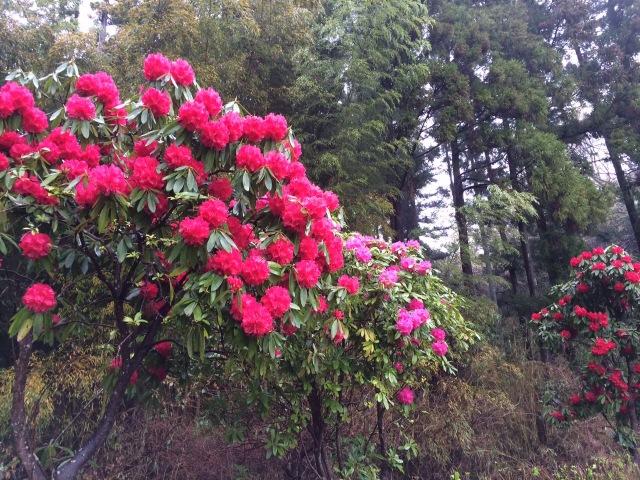 多度の石楠花 ①