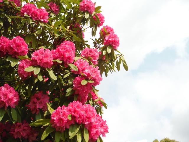 多度の石楠花 ②