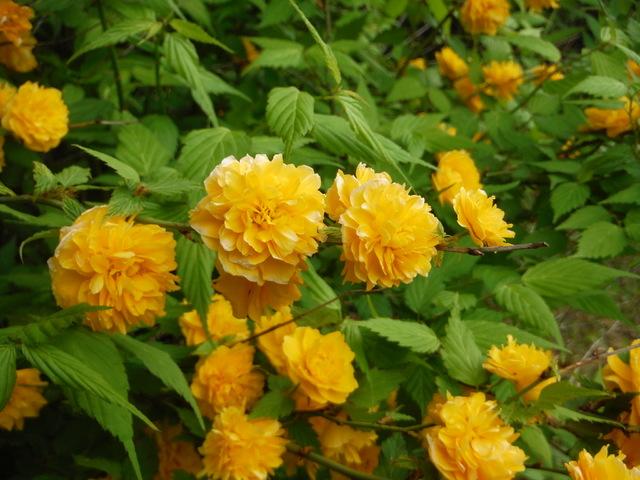 黄金色の花〜ヤマブキ〜