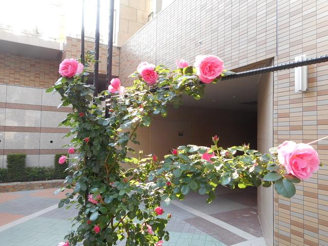 今年植えた「薔薇」が咲きました