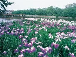 九華公園の花菖蒲祭り