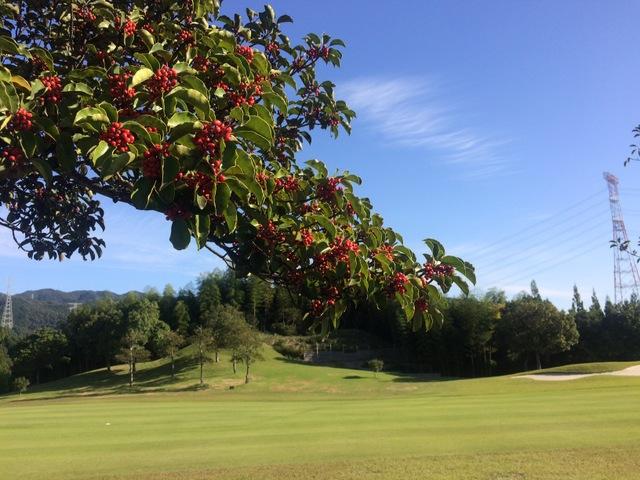 赤い実の付く樹木 〜くろがねもちと、ピラカンサ〜