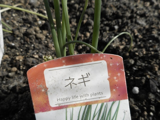 ねぎの植え付け