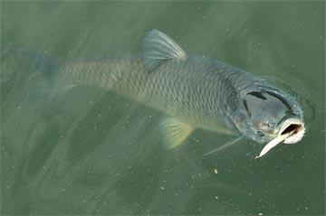 多度農園に来たなら草魚を見つけてね!