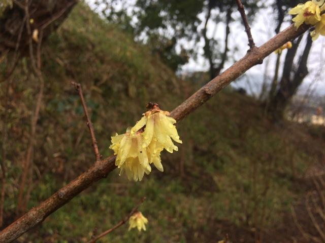 蝋梅の花が咲き始めました。