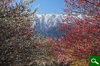 梅の名所 『いなべ市梅林公園』