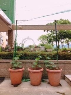 プランター菜園 キュウリの成長
