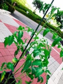 プランター菜園 トマト
