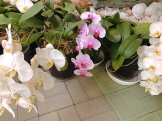 胡蝶蘭の植替えをしました