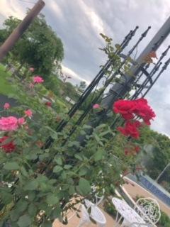 またバラが咲き始めました!