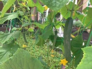 プランター菜園 きゅうりの収穫