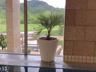 温水プールへ新しい観葉植物