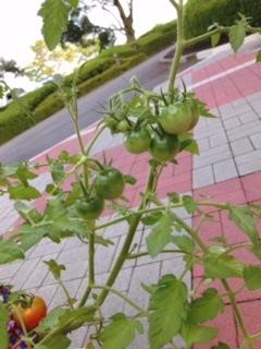 ミニトマト プランター菜園