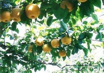 梨狩り 『山之上観光果樹園』
