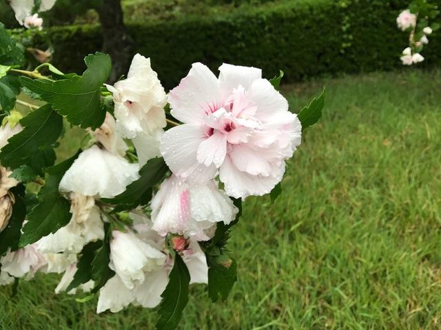 八重咲きのムクゲ