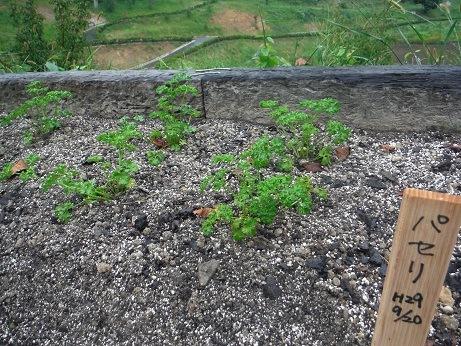 パセリを植えました!