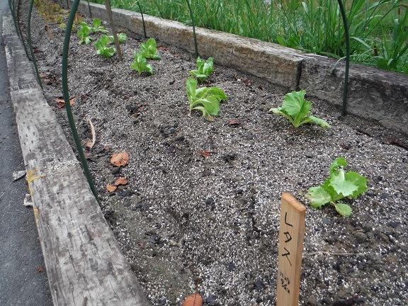 レタスを植えました!