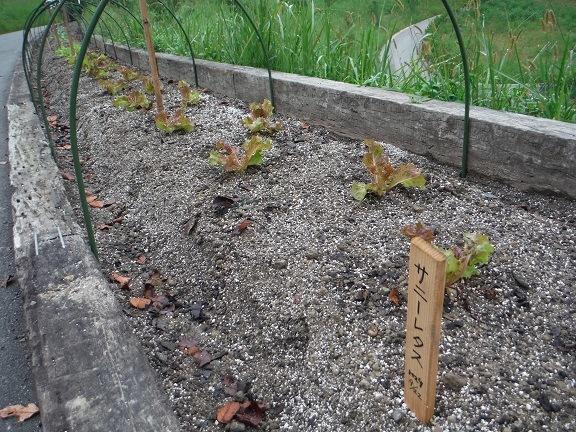 サニーレタスを植えました!