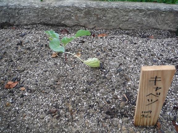 キャベツを植えました!