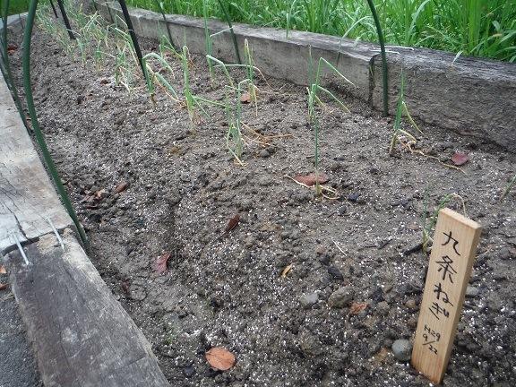 九条ねぎを植えました!