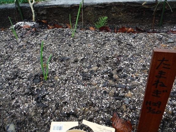 タマネギの芽が出ました!