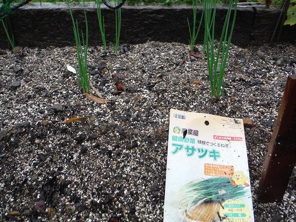 アサツキの芽が出ました!