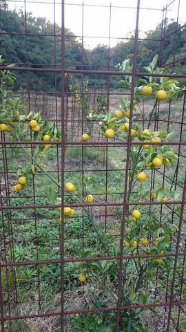 自家製柚子酒