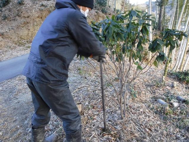 石楠花への寒肥