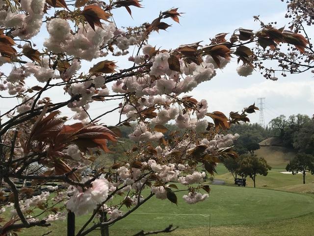 東建多度カントリークラブを彩る春の花々② 〜八重の桜〜