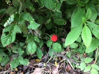 花壇のイチゴ