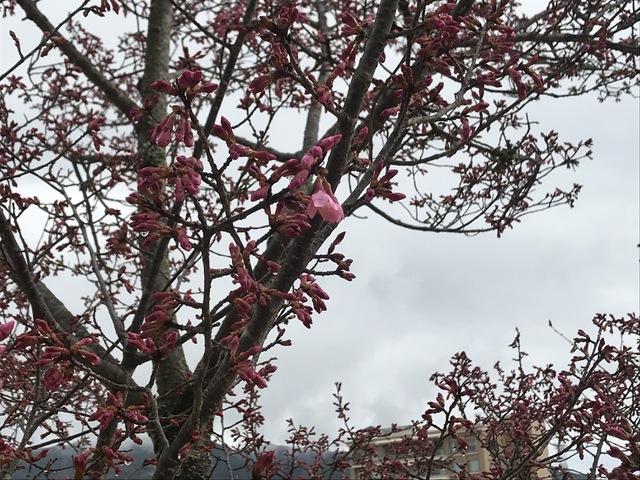 開花間近の寒緋の桜