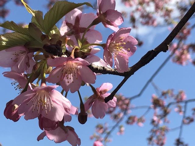 早咲き品種桜の競演