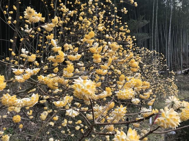 三椏(みつまた)の花
