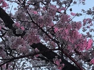 期間限定「桜ハイボール」