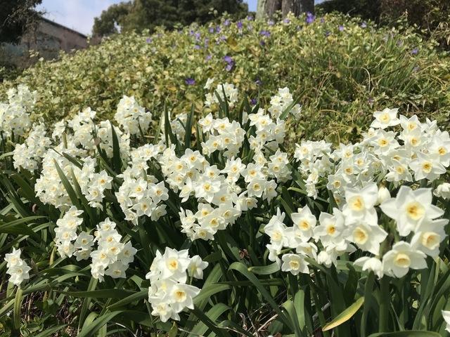 東建多度カントリーに春を告げる花々 〜スイセン〜