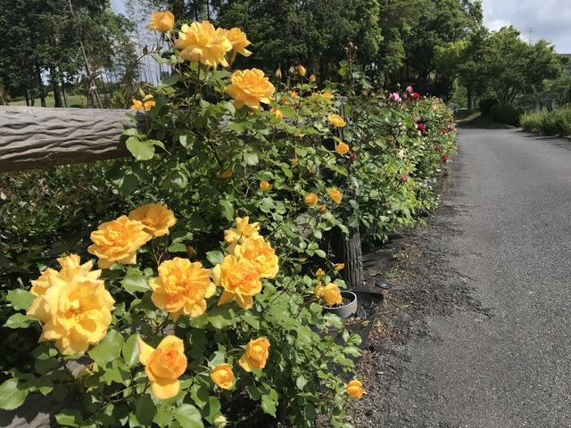 東建多度 魅惑のバラの開花 1 〜白鳥の池遊歩道〜