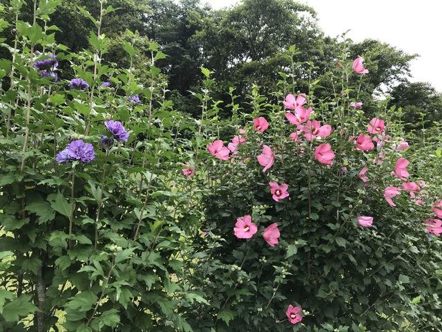 夏の訪れを告げる ムクゲの開花