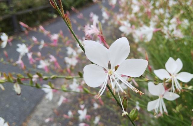 再び、白い花が咲きました♪