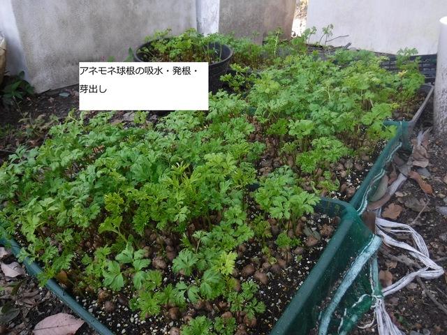 アネモネ球根の植え付け