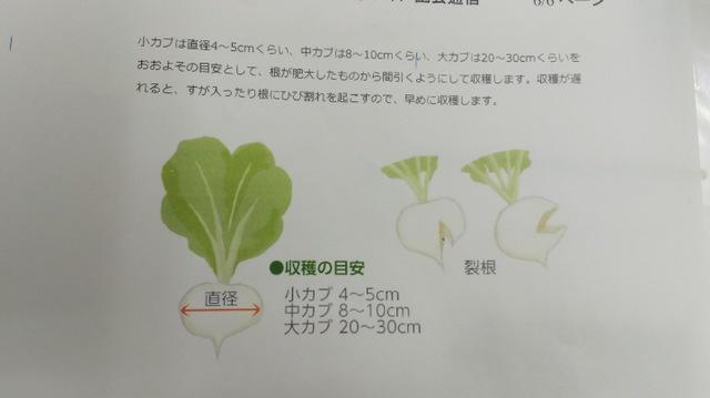 カブの収穫方法♪