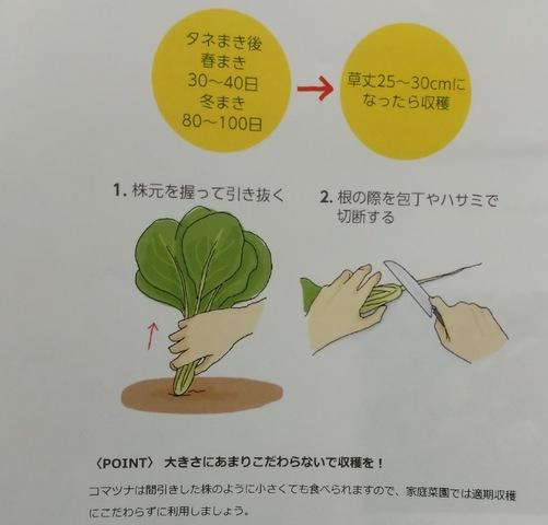 コマツナの収穫方法♪