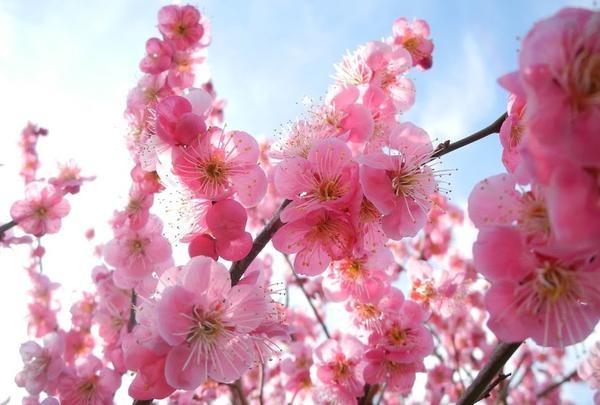 梅は咲いたか桜はまだか♪