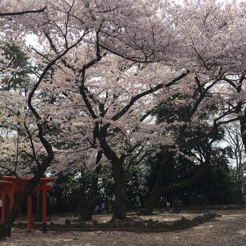 『村正』と桜
