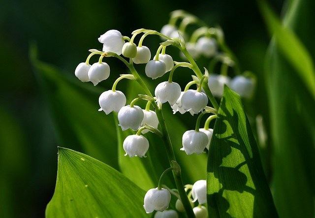 5月1日の誕生花