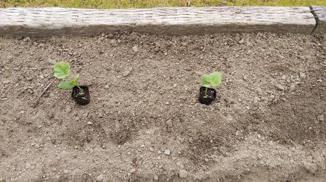 カボチャの栽培方法♪