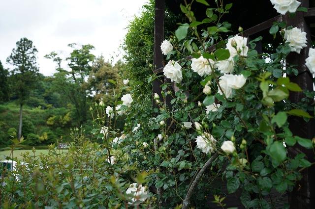 東建多度 薔薇の開花始まる
