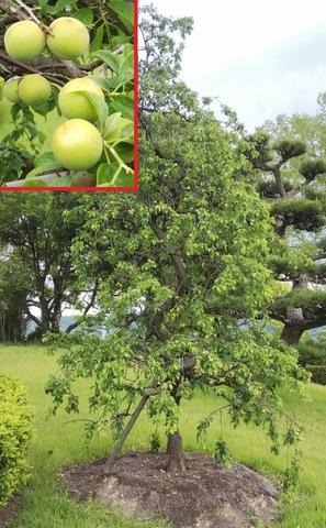 梅の実が、たくさん実ってます!!