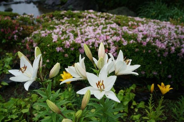 百合の開花